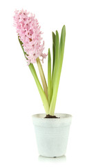 Beautiful hyacinth in flowerpot, isolated on white
