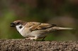 Close up photo of a tree sparrow with open beak