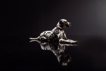 dalmata on black background