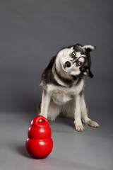 Siberian Husky Studio Portrait Shaking Head with Toy