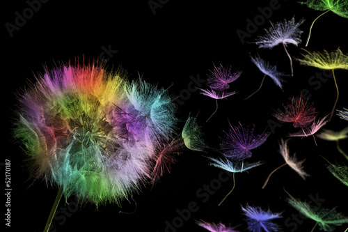 colored dandelion - 52170187