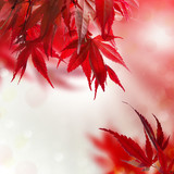 japanischer ahorn rot hintergrund - 52171553