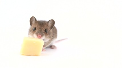 Cute little mouse eating  cheese on white background