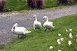 three swans following a pathway