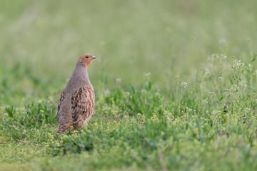 Rebhuhn, Grey Partridge, Perdix perdix