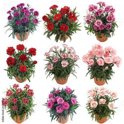 Deurstickers Dahlia Flower Collection Garofani