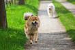 canvas print picture - zwei Hunde rennen auf einem Feldweg