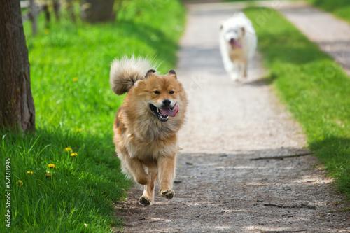 canvas print picture zwei Hunde rennen auf einem Feldweg