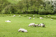 landscape with sheep, Cumbria, England