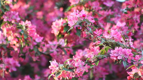 Pink apple blossom, medium shot