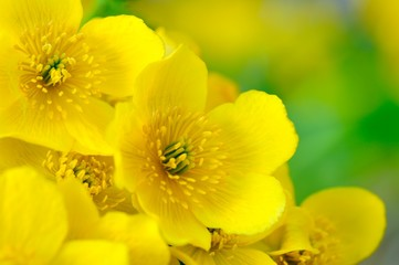 Yellow Kingcup (Marsh Marigold) Flowers Macro