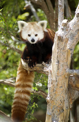 Red Panda Eastern Wildlife Climbing Tree