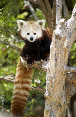 Red Panda Eastern Wildlife Climbing Tree