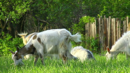 Goats are grazing on green pature in the countryside