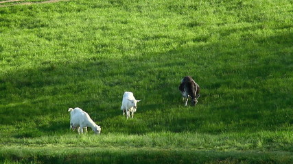 Goats grazing on green pasture background, long shot