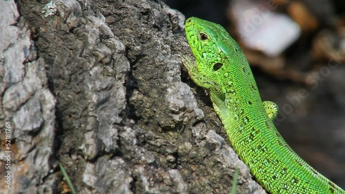 Sand lizard male in the wild, close up