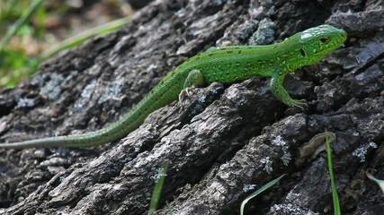 Sand lizard male against stump background, medium shot