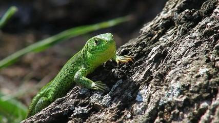 Sand lizard male on a stump, looking around