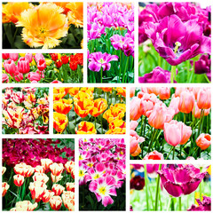 spring flowers. Tulips collage