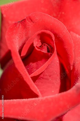 Ornamental rose © alessandrozocc