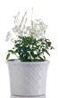 pianta di gelsomino in vaso