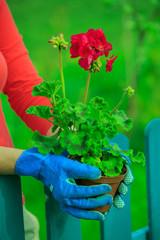 Gardening, planting - woman with geranium flowers