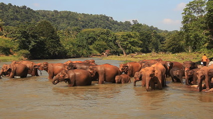 Elephants enter into the river to drink water.