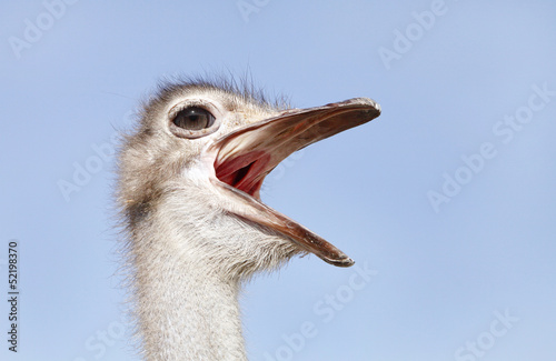 Ostrich making rumbling sound