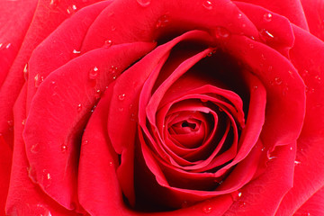 Beautiful arrangement of petals in a red rose, a closer look
