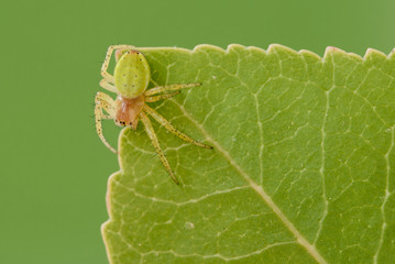 Cucumber spider on a leaf