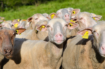 Brebis, mouton, troupeau