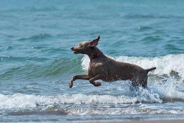 Hound dog runs happily on the seashore