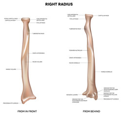 Human right radius, bone