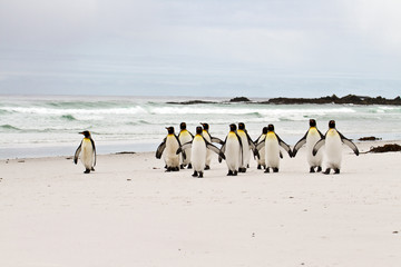 King penguins walking on the beach