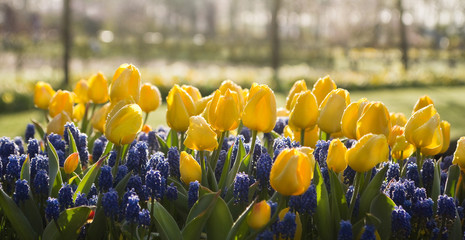 Yellow tulips and blue grape hyacinths in spring