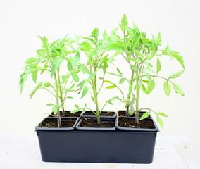 plants de tomates en barquette