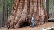 A Tourist at the Giant sequoia tree in Mariposa Grove