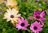 Flower bloom of purple and yellow Osteospermum in garden.