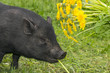 cute little black vietnamese pig eating dandelions
