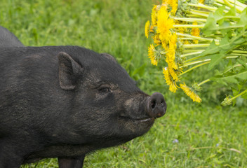 cute black vietnamese pig eating dandelions