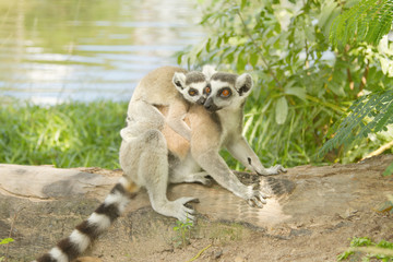 lemur family in the open zoo