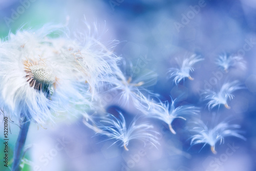 dandelion blowing - 52210160