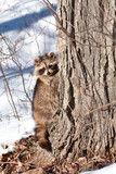 raccoon in winter