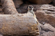 Meerkat on rock background