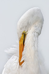 Great Egret Preening Closeup