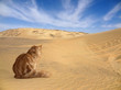 desert with cat
