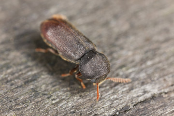 Comb-antenned wood borer, anobiidae on wood
