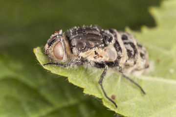 Infested fly on leaf, macro photo