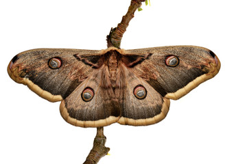 Large Emperor moth (Saturnia pyri) female,