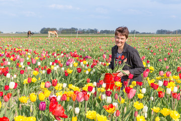 Portrait of a happy woman  plucking flowers in Dutch tulips fiel